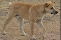 Cameroon village dog- example.JPG