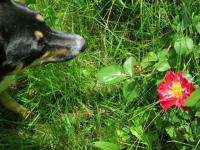 rosenparrot.jpg